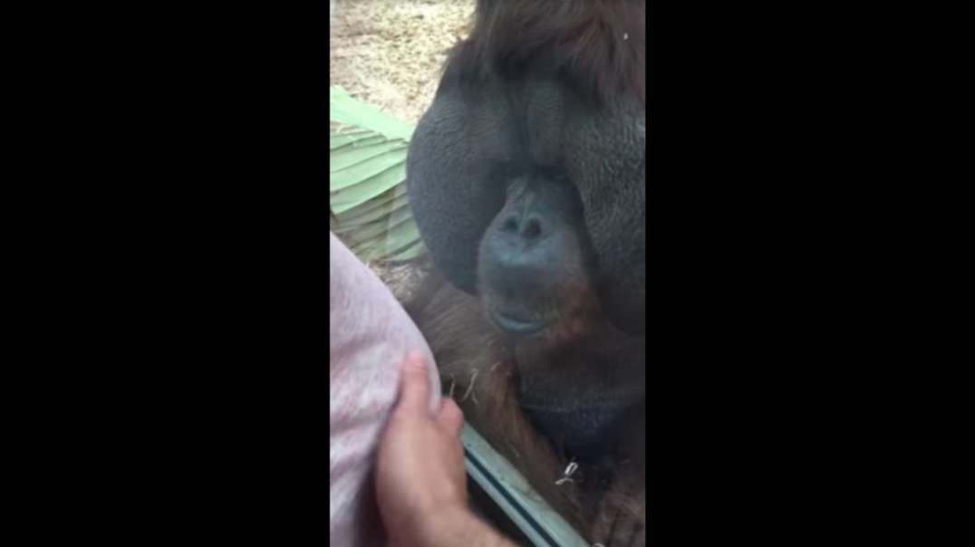 When Orangutans Respect White Mothers More Than Non-Whites