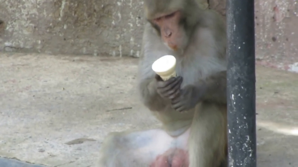 Monkey shows black woman how to eat an ice cream cone properly.