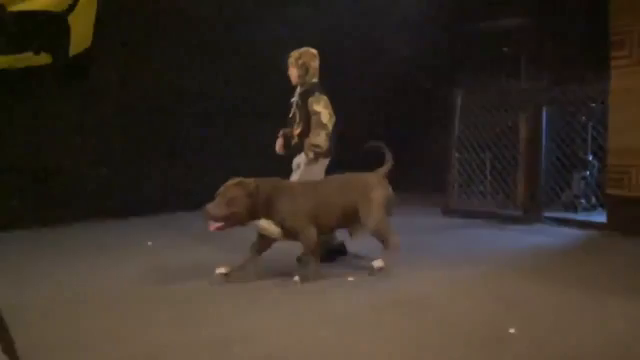 A trained pit bull protects a boy -