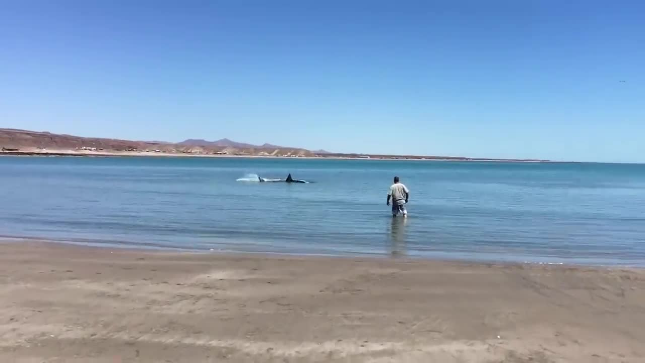 Injured Great White Shark hunting in Shallow Water to stay alive